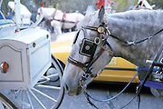 new york city carriage horse