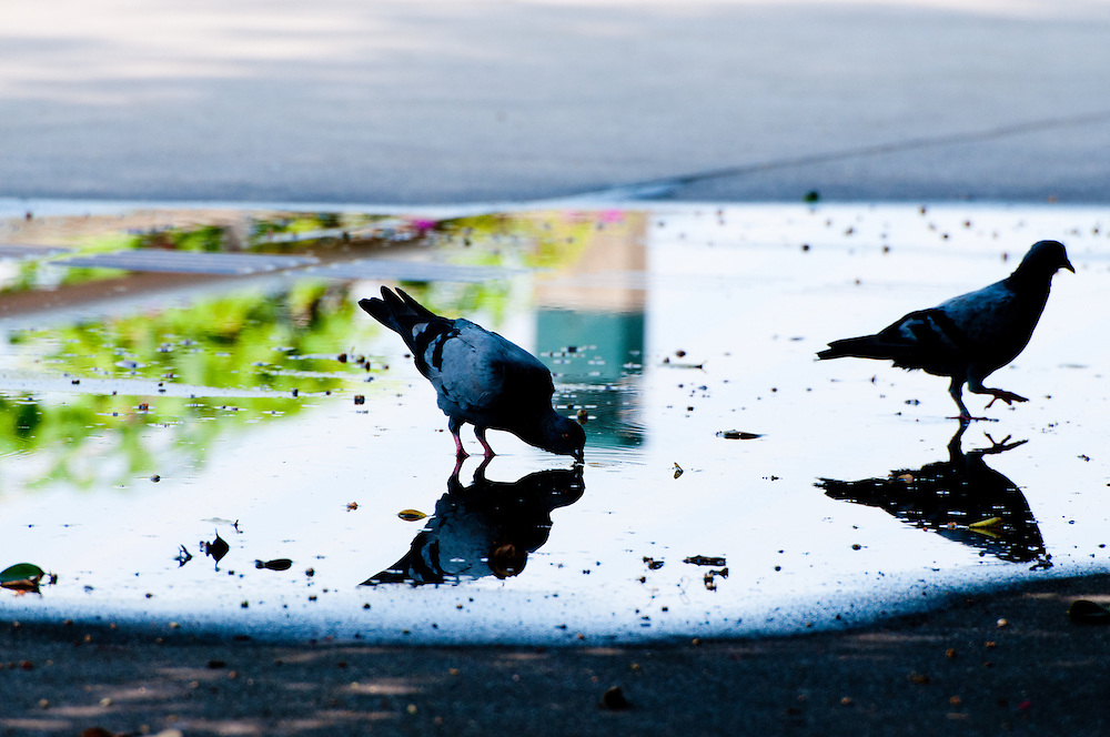 The Rock Pigeons (Columba livia) drinking in a park in Bangkok, Thailand.