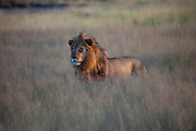 In the tall grass of Etosha National Park in northern Namibia, at the edge of a salt pan, a normally dry lakebed bigger than Rhode Island, a male lion looks for something to kill and eat. (From the book What I Eat: Around the World in 80 Diets.)