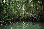 Mangrove trees root over green brackish water in Golfo Dulce, or Sweet Gulf in Puntarenas, Costa Rica.