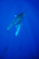 short-finned pilot whales, mother and calf, Globicephala macrorhynchus, Kona Coast, Big Island, Hawaii, USA, Pacific Ocean