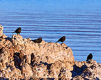 Brewer's Blackbird (Euphagus cyanocephalus). Mono Lake, California. Image taken with a Nikon D700 camera and 80-400 mm VR lens.