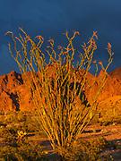 Ocotillo and the Kofa Mountains at Sunset, Kofa Wilderness, Kofa National Wildlife Refuge, Yuma County, Arizona