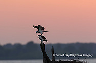 00783-01818 Ospreys (Pandion haliaetus) at nest at sunset Rend Lake Jefferson Co. IL