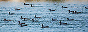A flock of Eurasian Coot (Fulica atra) floating on water Photographed in Israel