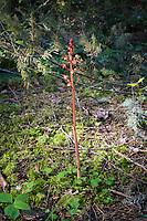 Spotted coralroot orchid growing in the coastal forest on Fidalgo Island. These beautifully spotted terrestrials are found across North America in northern forests from the Pacific Northwest to Newfoundland. Like most coralroots, they are often found on the forest floor in areas devoid of other low-growth/forest floor vegetation. I usually find them by habitat-type, as they seem to grow best in places where a bit of sunlight reaches a permanently dark forest floor, and can be spectacular when a beam of light penetrates the darkness to reveal this beautiful orchid standing tall. Because it lacks chlorophyll, the leaves of this plant do not use photosynthesis to create its own food, but unusually the ovaries of the flower can, in very small amounts. The main source of nutrients is like that of many other non-green plants (called myco-heterotrophs) - they parasitize the vegetative part of underground fungi, in this case - the mushroom family Russulaceae.