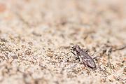 Heath tiger beetle (Cicindela sylvatica). Thursley Common, Surrey, UK.
