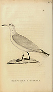 Brunnicks kittiwake from the 1825 volume (Aves) of 'General Zoology or Systematic Natural History' by British naturalist George Shaw (1751-1813). Shaw wrote the text (in English and Latin). He was a medical doctor, a Fellow of the Royal Society, co-founder of the Linnean Society and a zoologist at the British Museum. Engraved by Mrs. Griffith