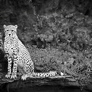 """""""Patience""""                                                        Tanzania<br />  A young cheetah sits on a riverbank in Ndutu, patiently waiting for his next opportunity."""