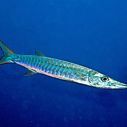 Blackfin Barracuda achool in open water. Pacture taken Fiji.