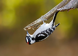 An acrobatic downy woodpecker takes the road less traveled and decides the view is better from down below