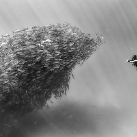 A swarm of Bigeye Trevally during an exploration dive in Cabo Pulmo National Park, Mexico. Cabo Pulmo is the best example of a recovered reef in Mexican seas. A few years ago the fisherman of Cabo Pulmo fished all the reef to the point that fishing stopped being a way to sustain their households and life in the reef was obliterated. So they decided to totally stop fishing and few years latter the reef recovered to an astonishing level, and it is today the best example of what the Sea of Cortes used to be like. Cabo Pulmo is a unique example of the power of preserving marine hot spots, or what Sylvia Earle calls Hope Spots; by selecting and protecting strategic marine areas, the biomass of the ocean can increase rapidly and improve the overall health of the oceans.