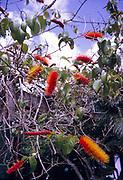 Bottlebrush tree in flower, Callistemon, Trinidad and Tobago c 1963