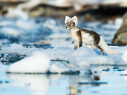 Arctic fox (Alopex lagopus) on drifitng ice in Svalbard, Norway