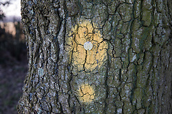 Great Missenden, UK. 28th February, 2021. Yellow paint markings are pictured on one of a row of oak trees along Leather Lane. Environmental activists from HS2 Rebellion have recently occupied the trees and set up a camp nearby following local reports that around twelve of the oak trees are threatened with felling for temporary works associated with the HS2 high-speed rail link.