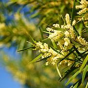 Wattle, the Australian national flower