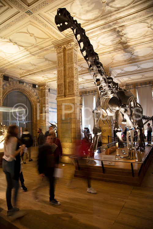 Dinosaurs exhibition room at the Natural History Museum in London, England, United Kingdom. The museum exhibits a vast range of specimens from various segments of natural history. The museum is home to life and earth science specimens comprising some 80 million items within five main collections: botany, entomology, mineralogy, paleontology and zoology. The museum is a centre of research specialising in taxonomy, identification and conservation.
