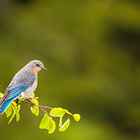 While not quite as flamboyantly blue as their male counterparts, female mountain bluebirds like this one perched high above the Mission Valley are nonetheless gorgeous.