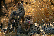 Cheetah {Acinonyx jubatus} mother and cubs, Okavango Delta, Botswana