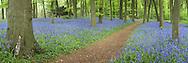 Spring bluebells in beech woodland on the Chiltern Hills above Mapledurham near Reading, Berkshire, Uk