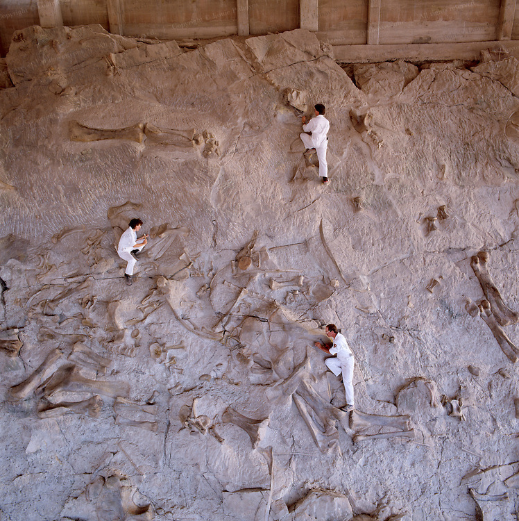 Paleontologists have chiseled the remains of several hundred Jurassic dinosaurs when work began in 1909 at what became the Carnegie Quarry near Jensen, utah.  The site is now known as Dinosaur National Monument.