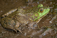 Kermit the Bullfrog in the mud near the pond. Image taken with a Nikon D200 camera and 80-400 mm VR lens. (ISO 400, 400 mm, f/8, 1/125 sec)