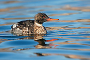 Stock Photo of red-breasted merganser captured in Colorado.  These birds breed farther north and winter farther south than other mergansers
