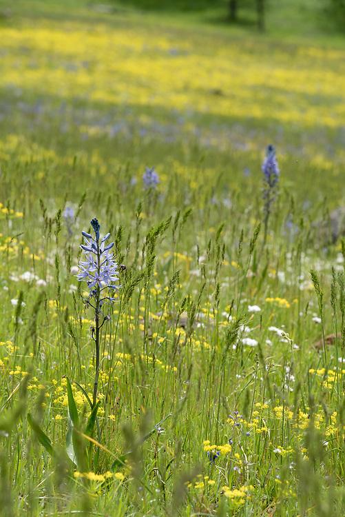 Wildflowers in meadow, Wallowa-Whitman National Forest, Oregon.