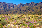 lush wildflowers blanket the desert floor with the Santa Inez mountains as a backdrop in the Anza Borrega Desert State Park, California, USA