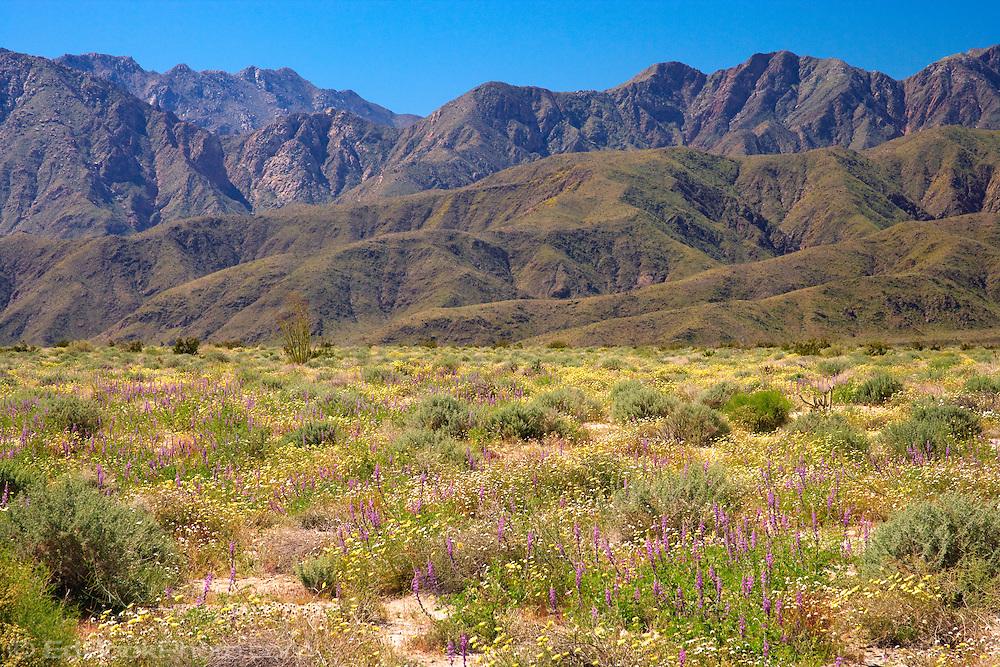 lush wildflowers blanket the desert floor with the Santa Inez mountains as a backdrop in the Anza Borrega Desert State Park, California, USA