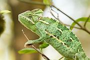 A juvenile female veiled chameleon (Chamaeleo calyptratus). Native range: North Africa, Yemen to Saudi Arabia. Captive.