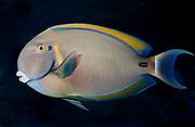 Black-Spot Surgeonfish, Acanthurus bariene.