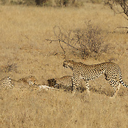 Cheetah family, mother with two older cubs catch a baby grants gazelle in Samburu National Reserve, Kenya