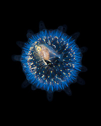 freckled driftfish, Psenes cyanophrys, juvenile, taking refuge in young pyrosome, Pyrosoma sp., intensely biolumininescent, pelagic, colonial tunicates, offshore at night, Kona Coast, Big Island, Hawaii, USA, Pacific Ocean