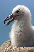 Schwarzbrauenalbatros (Diomedea melanophris) | Black browed albatross  (Diomedea melanophris)