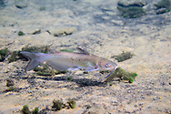 Channel Catfish (juvenile)<br /> <br /> Isaac Szabo/Engbretson Underwater Photography