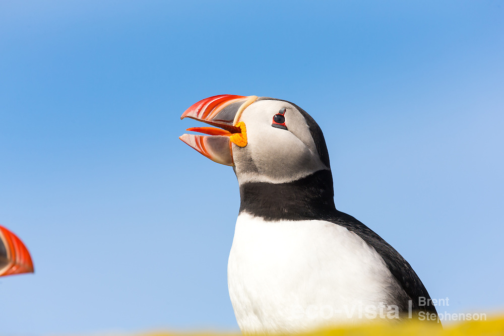 An Atlantic puffin (Fratercula arctica) stands on a rock overlooking the sea, with colourful yellow lichens in the foreground. Beak wide open yawning. Vigur Island, Isafjardardjup, Iceland. July.
