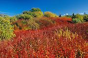 Fireweed (Epilobium sp.)<br />  Yellowknife Highway<br /> Northwest Territories<br /> Canada