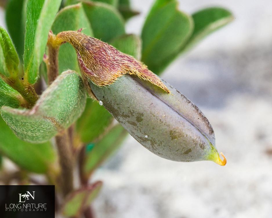 Crotalaria avonensis seed pod