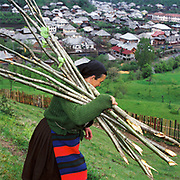 Wearing a traditional woollen woven apron (zadie), a peasant farmer collects sticks for growing beans up from the forest, Botiza, Maramures, Romania. 90% of vegetable production is grown in small household plots and mainly used for self-consumption and for sale on local markets.