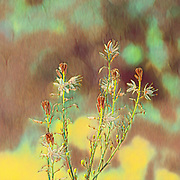 Digitally enhanced image of an Asphodelus ramosus, also known as branched asphodel, is a perennial herb in the Asparagales order. Photographed in Israel in February