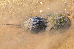 Male & Female Horseshoe Crabs Mating