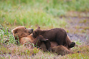 A Brown or Grizzly Bear spring cub nurses from its mother, Lake Clark National Park, Alaska.