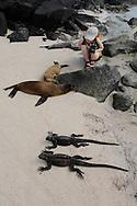 Mimmi Widstrand (NB5963) with Galapagos Sea Lions (Zalophus wollebaeki) and Marine Iguana, (Amblyrhynchus cristatus), Punta Suarez, Española, Galapagos, Ecuador