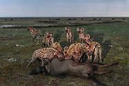 Hyänen mit gerissenem Gnu im Liuwa Plain Nationalpark in West-Sambia.