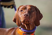 SHOT 5/9/20 8:35:27 AM - Various pointing breeds compete in the Vizsla Club of Colorado Licensed Hunt Test Premium at the Rocky Mountain Sporting Dog Club Grounds in Keenesburg, Co. (Photo by Marc Piscotty / © 2020)