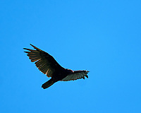 Turkey Vulture in flight. Image taken with a Nikon D3s camera and 400 mm f/2.8 lens.