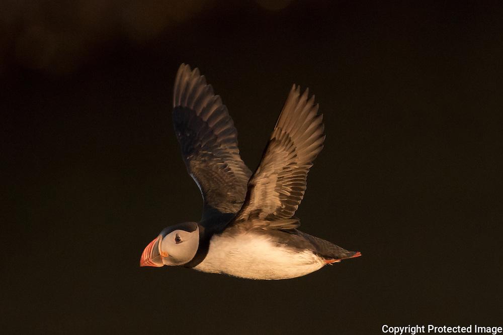 Atlantic Puffin in flight.