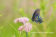 03004-01617 Pipevine Swallowtail (Battus philenor) on Swamp Milkweed (Ascelpias incarnata) Marion Co. IL