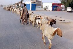 May 5, 2017 - Pakistan - LARKANA, PAKISTAN, MAY 05: A herdsman handling his herd of sheep passing through the .road in Larkana on Friday, May 05, 2017. (Credit Image: © PPI via ZUMA Wire)